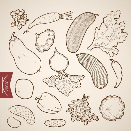 zucchini: Engraving vintage hand drawn vector vegetable collection. Pencil Sketch squash, pepper, carrot, zucchini, radish, beet, cucumber, horseradish illustration. Illustration