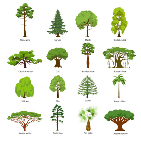 cedro: Fije los árboles verdes ilustración vectorial plana. pino piñonero, iconos abeto, arce, abedul, cedro, roble, Brachychiton, higuera de Bengala, sauce, alerce, palma, árboles forestales pino silvestre. Concepto de la naturaleza.