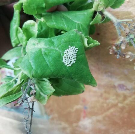 Six burnet moth cocoons on tulsi plant leaf