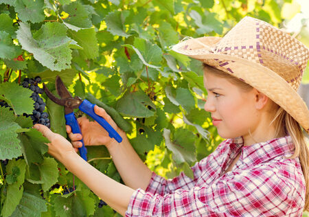 Young winemaker harvesting in the vineyard  Woman gardener picking red grape from the tree