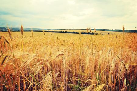 cultivo de trigo: Hermoso prado de trigo dorado al atardecer. Concepto de la rica cosecha de cereales.
