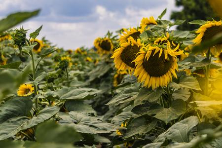 agro: sunflowers