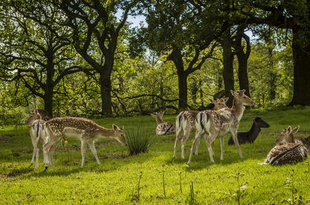 widlife: deers