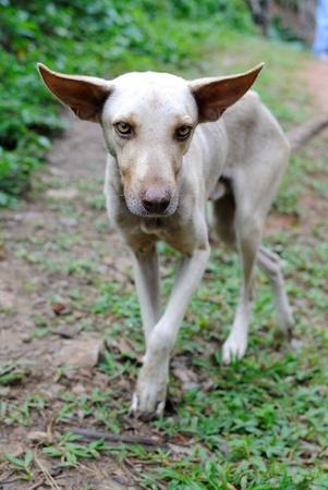 Wilder Hund auf einem ländlichen Trail in der Dominikanischen Republik. Standard-Bild - 8603610