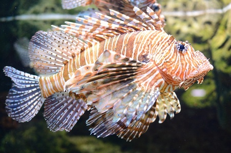 A red lion fish swimming along