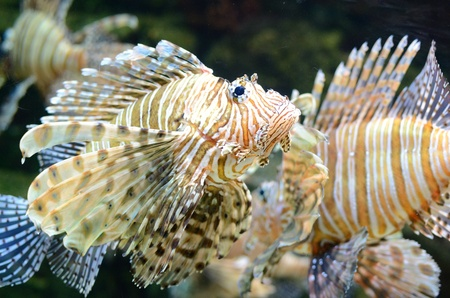 A red lion fish swimming along photo