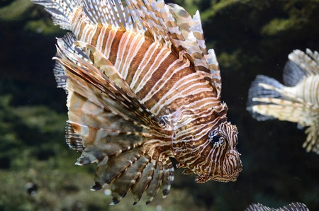 A red lion fish swimming along Stock Photo - 9189645