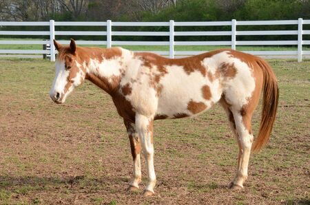 corral: American Paint Horse in a Corral