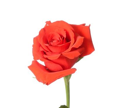 Beautiful budding red rose Stock Photo - 9188407