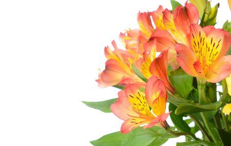 alstroemeria: Beautiful Alstroemeria with Copy Space
