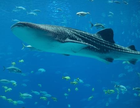 blue whale: Whale Shark Stock Photo