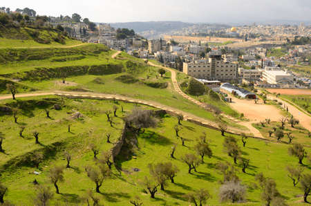israel agriculture: Hillside covered with olive trees in Jerusalem, Israel. Stock Photo