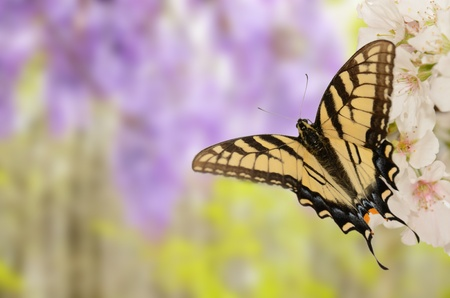 yellow and black butterfly on cherry blossoms with purple wisteria in the background photo