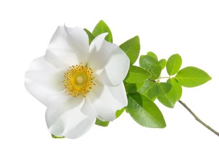 Rosa laevigata  Cherokee Rose  isolated on white background  版權商用圖片