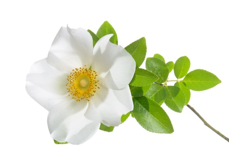 cherokee: Rosa laevigata  Cherokee Rose  isolated on white background  Stock Photo