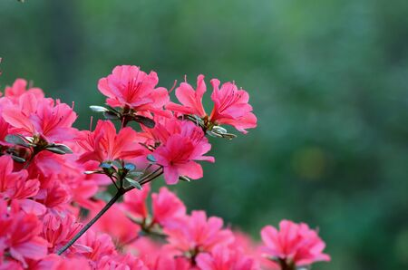 natureal: Azaleas in bloom against foliage Stock Photo