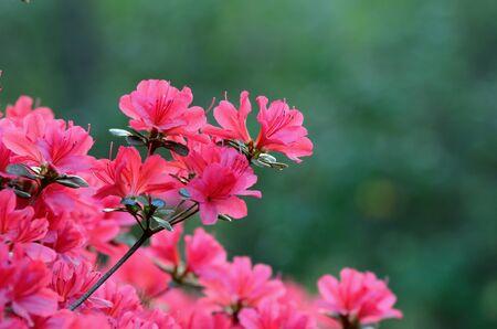 natureal: Azalee in fiore contro fogliame Archivio Fotografico