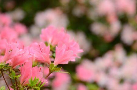azaleas: Azaleas in bloom against foliage Stock Photo