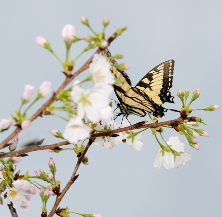 a butteryfly drinking the nectar of Cherry Blossoms photo