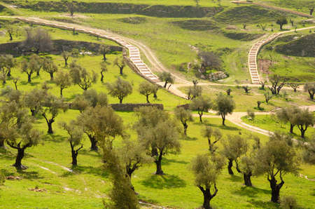 olive green: Olive trees in a valley
