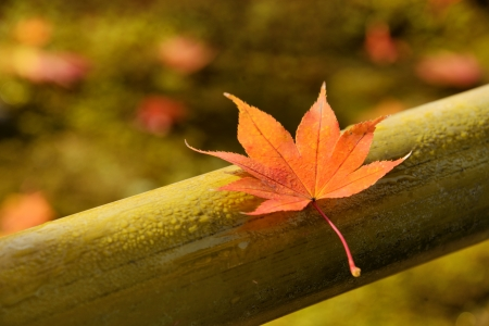momiji: Red maple leaf soaked in morning dew on a bamboo fence.