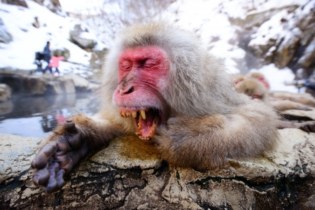 hot springs: A Japanese Macaque relaxes in the hot spring and lets out a big yawn