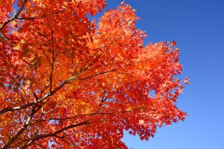 momiji: Fall foliage at  in Nagoya, Japan. Stock Photo