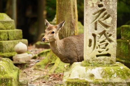 sika deer: Nara deer roam free in Nara Park, Japan.