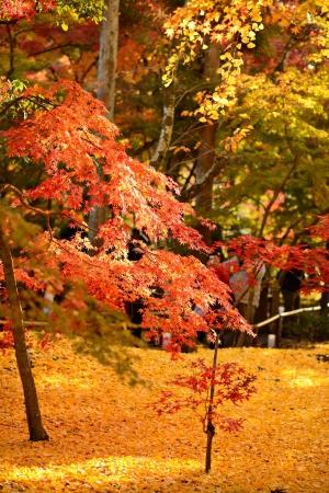 momiji: Fall foliage at Eikando Temple in Kyoto, Japan. Stock Photo