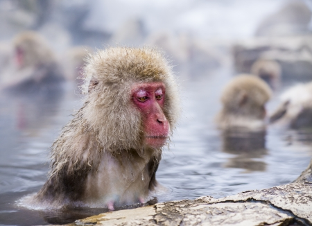 hot spring: Macaques bath in hot springs in Nagano, Japan.