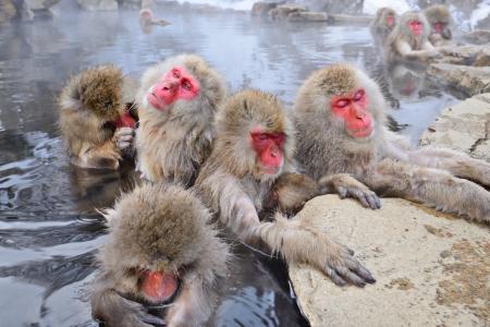 springs: Macaques bath in hot springs in Nagano, Japan.