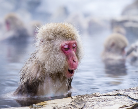 warm water: Macaques bath in hot springs in Nagano, Japan.
