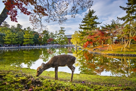 asia deer: Deer grazes near Todai-ji Temple in Nara, Japan.