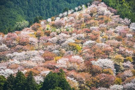 seaonal: Yoshino, Japan cherry blossoms on the hillside.