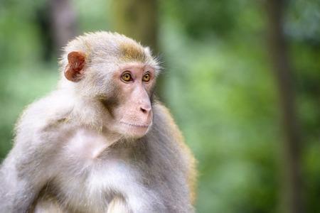ini: Macaque at Qianling Hill Park ini Guiyang, China.