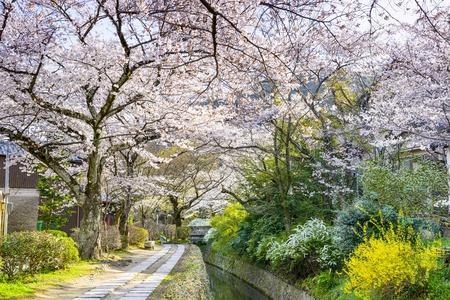 flor cerezo: Kyoto, Jap�n, en Paseo de los Fil�sofos en la primavera. Foto de archivo