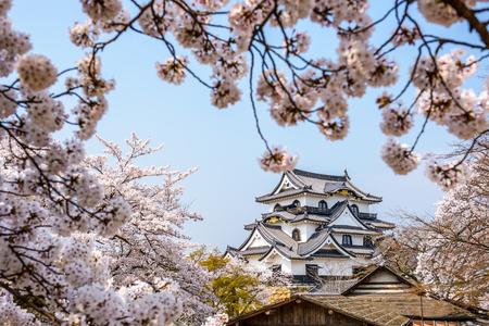 cerezos en flor: Hikone, Japón en el Castillo en la primavera. Editorial