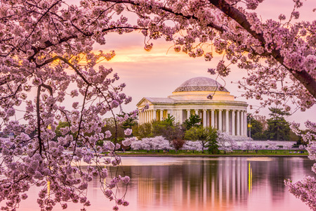 Washington, DC at the Tidal Basin and Jefferson Memorial during the spring cherry blossom season. 스톡 콘텐츠