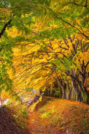 kawaguchi ko: Maple Corridor near Kawaguchi Lake, Japan in Autumn.