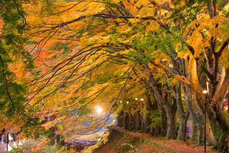 kawaguchi ko: Maple Corridor near Kawaguchi Lake in Japan during autumn.
