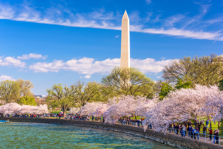 spring tide: WASHINGTON DC - APRIL 10, 2015: Crowds walk below cherry trees and the Washington Monument during the spring festival. Editorial