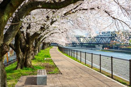 cerezos en flor: Las flores de cerezo en flor en Kyoto, Japón.
