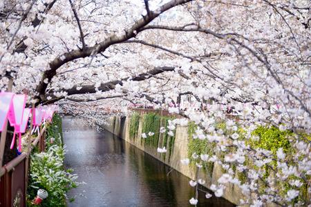 arbol de cerezo: Tokio, Japón en el Meguro canal en la primavera. Foto de archivo