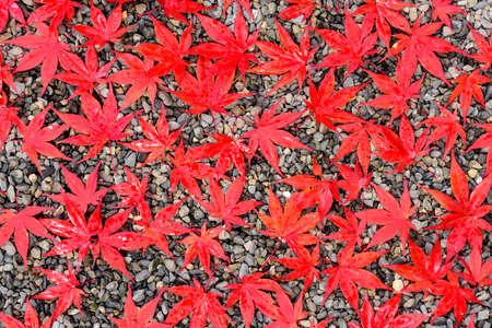 momiji: Autumn leaves on a gravel trail.