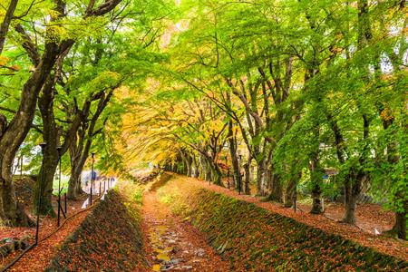 gully: Maple Corridor near Kawaguchi Lake, Japan during autumn.