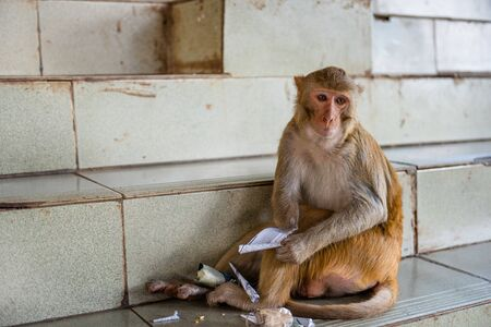 Macaque monkeys enjoy their time at Taung Kalat on Mt. Popa, Myanmar.