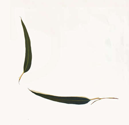 Two long leaves of eucalyptus designing the borders of a frame