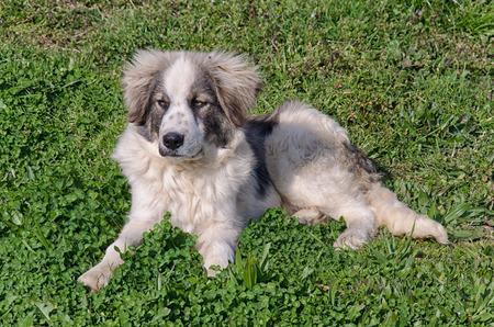sheepdog: Puppy of sheepdog