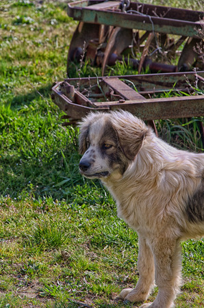 half breed: View of beautiful sheepdog in the farm Stock Photo
