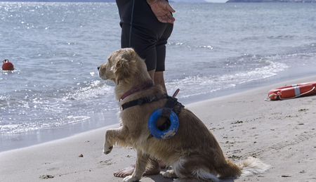 waits: Rescue dog waits for instructions from the trainer